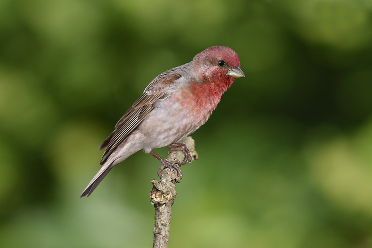 Common Rosefinch - Carpodacus erythrinus