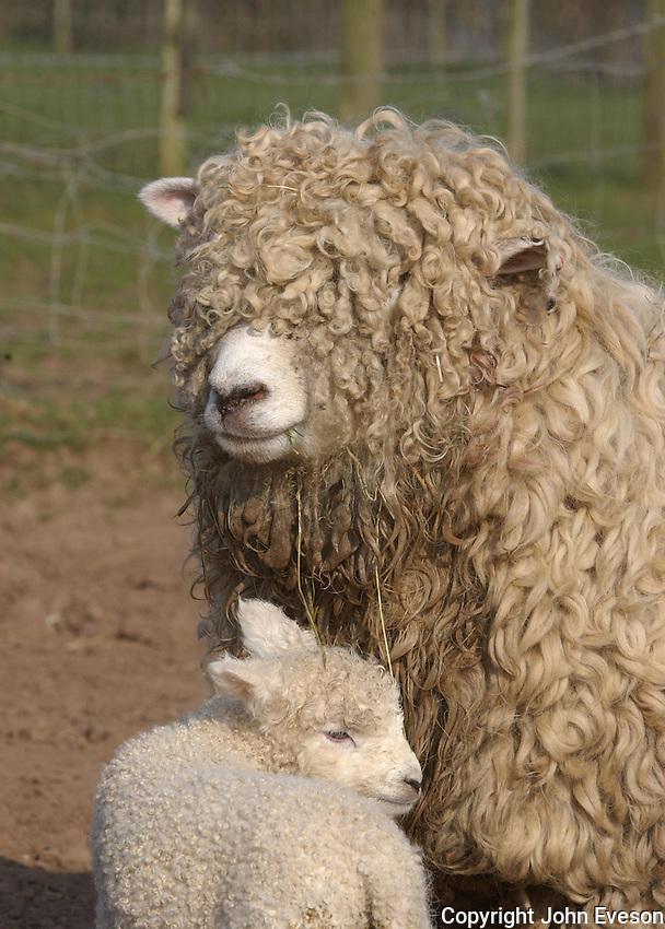 Devon and Cornwall Longwool ewe with lamb.