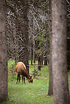 A female elk grazing in a pine forest in Yellowstone National Park