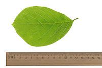 Magnolie, Yulan-Magnolie, Magnolien, Magnolia denudata, lilytree, Yulan magnolia, Magnolia Yulan. Blatt, Blätter, leaf, leaves