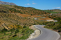 Road winding between fields of olive trees, somewhere between the villages of Alora and Antequera in Andalusia, Spain.