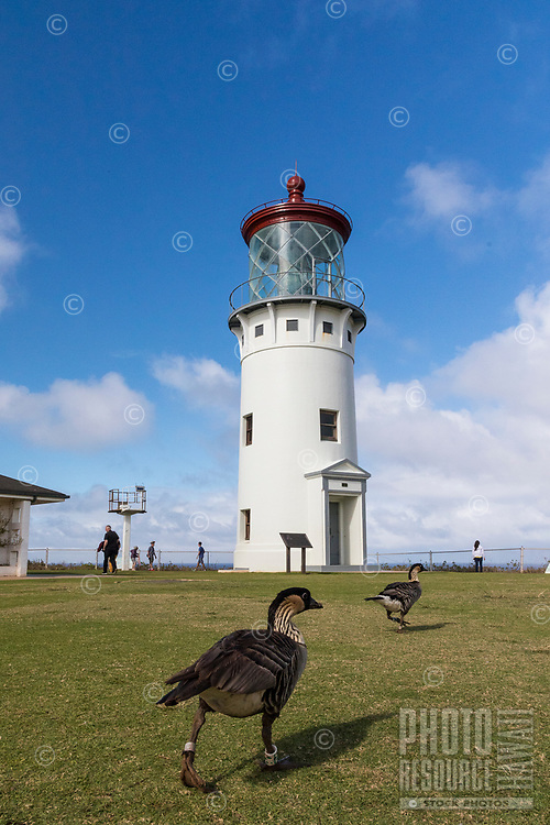Nene geese head back towards the Kilauea Lighthouse, Kilauea Point National Wildlife Refuge, Kaua'i.