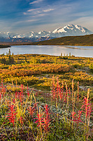 Landscape of fireweed and the autumn tundra by Denali and Wonder Lake, Denali National Park, Alaska.