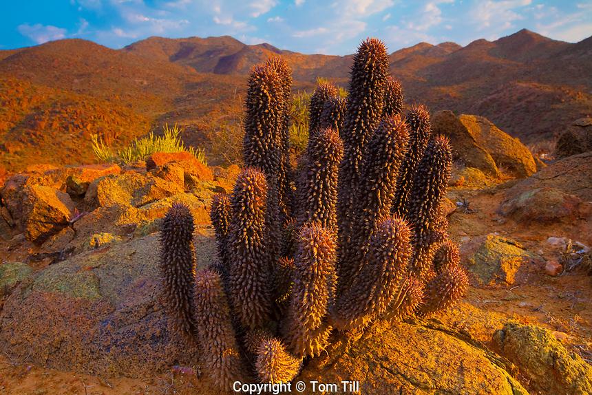 Euphorbia cactus .Richtersveld National Park, South Africa.Euphorbia sp. .Orange River canyons