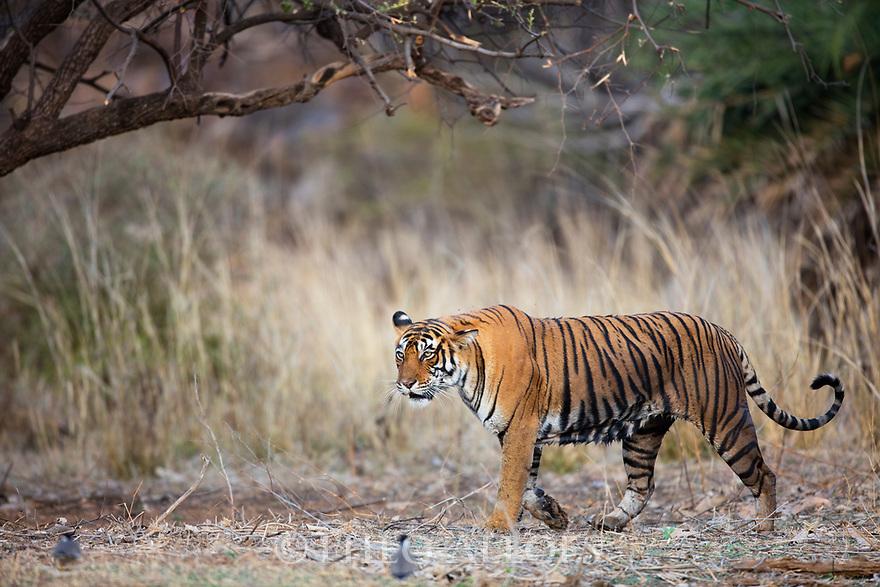 India, Rajasthan, Ranthambhore National Park, Bengal tigress walking in forest