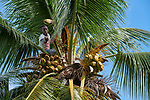 Robenson Vestus harvests coconuts on the Haitian island of La Gonave where Service Chr&eacute;tien d&rsquo;Ha&iuml;ti is working with survivors of Hurricane Matthew, which struck the region in 2016.<br /> <br /> SCH, a member of the ACT Alliance, supports agriculture on the island by providing tools, seeds, and technical support and training for farmers.