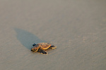 Sea turtle hatchlings make their way to the ocean on the beach of Jekkyl Island, Georgia at dawn August 15, 2013.