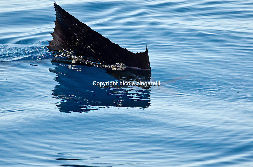 Dorsal fin of a sailfish swimming near the surface in the waters of the pacific ocean, costa rica.