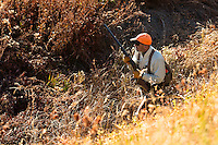 Pete Coppolillo, of Bozeman, Montana, hunts thick cover for pheasant north of the Missouri River Breaks in central Montana.