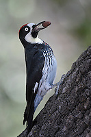 Acorn Woodpecker, Davis Mountains State Park, Fort Davis, TX