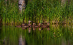 Blue-winged teal - hen and ducklings in northern Wisconsin.