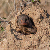 Helogale parvula<br /> <br /> Dwarf mongoose emerging from its burrow.