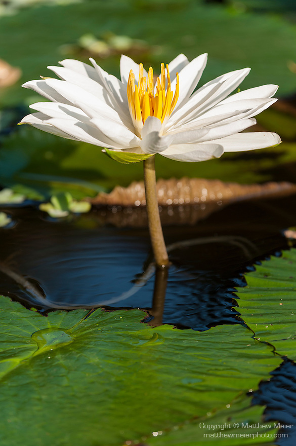 Bali, Indonesia; a white and yellow lily flower rises out of a shallow pond