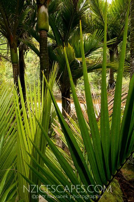 Nikau palm tree leaves and Nikau palms - Kahurangi National Park, West Coast