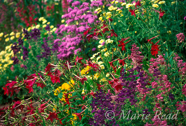 Summer garden flowers, including tansy, coreopsis, salvia, nicotiana, New York, USA<br /> Slide # GWF-27