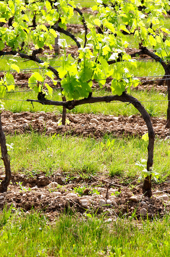 Young vines in the vineyard on the typical sandy pebbly (galets) soil in Crozes Hermitage. Vines trained in Cordon Royat on wires.   Domaine du Colombier, Crozes-Hermitage, Mercurol, Drome Drôme, France Europe