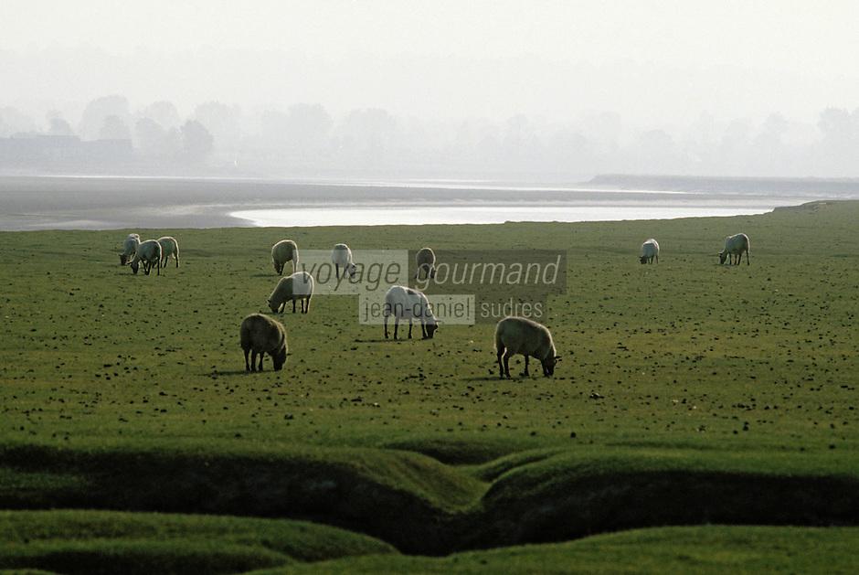 Europe/France/Normandie/Basse-Normandie/50/Manche/Mont Saint-Michel: Moutons de l'Avranchin sur pre salé