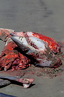 freshly butchered mako shark, Isurus oxyrinchus, local Mexican shark fishery, Isla Magdalena, Baja, Mexico, Pacific Ocean