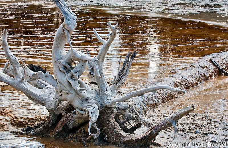 A downed, bleached tree in the Fountain Paints Area of Lower Geyser Basin, Yellowstone National Park.