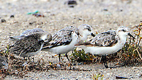 Western sandpiper preening with sanderlings