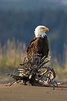A eagle perches on a piece of driftwood, Lake Clark National Park, Alaska.
