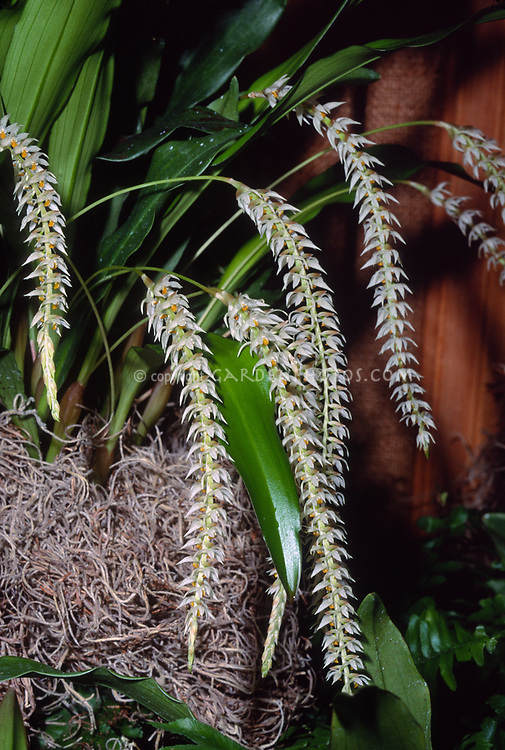 Dendrochilum glumaceum, the hay-scented orchid or husk-like dendrochilum