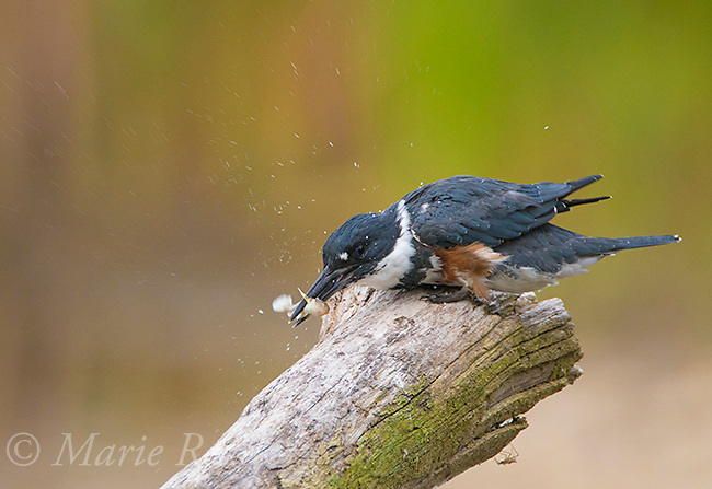 Belted Kingfisher (Ceryle alcyon) female processing fish (Round Goby) by striking it against perch, causing water droplets to fly, Lansing, New York, USA