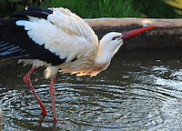 White stork standing in a small pond in Paphos birds park, stock image.<br />