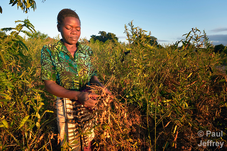 Mercy Tembo harvests peanuts, known locally as groundnuts, in Edundu, Malawi. She and other farmers in her village have benefited from intercropping and crop rotation practices they learned from the Malawi Farmer-to-Farmer Agro-Ecology project of the Ekwendeni Mission Hospital AIDS Program, a program of the Livingstonia Synod of the Church of Central Africa Presbyterian.