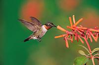 Ruby-throated Hummingbird (Archilochus colubris), male in flight feeding on Firebush (Hamelia patens) flower, Hill Country, Central Texas, USA