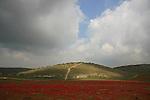 Israel, Shephelah, Anemone flowers in Lachish region
