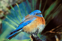 Western Bluebird male (Sialia mexicana)