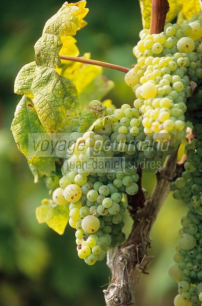 Europe/Croatie/Dalmatie/ Ile de Korcula/Korcula: Détail grappe de  raisin,vignoble de Korcula