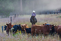 Western cowboy wearing red checked shirt and white cowboy hat, riding chestnut brown horse, in early morning fog, in California Sierras, sending text messages while astride his horse