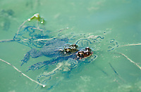 Male and female toads, Bufo Americanus, mating