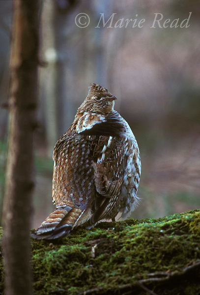 Ruffed Grouse (Bonassa umbellus), male perched on his drumming log, New York, USA<br /> Slide #  B32-08