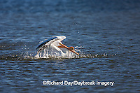 00671-008.17 American White Pelican  (Pelecanus erythrorhynchos) bathing,  Riverlands Environmental Demonstration Area,  MO