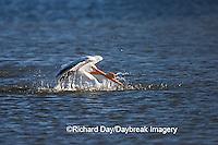 00671-008.17 American White Pelican  (Pelecanus erythrorhynchos) bathing,  Riverlands Environmental Demonstration Area,  MO