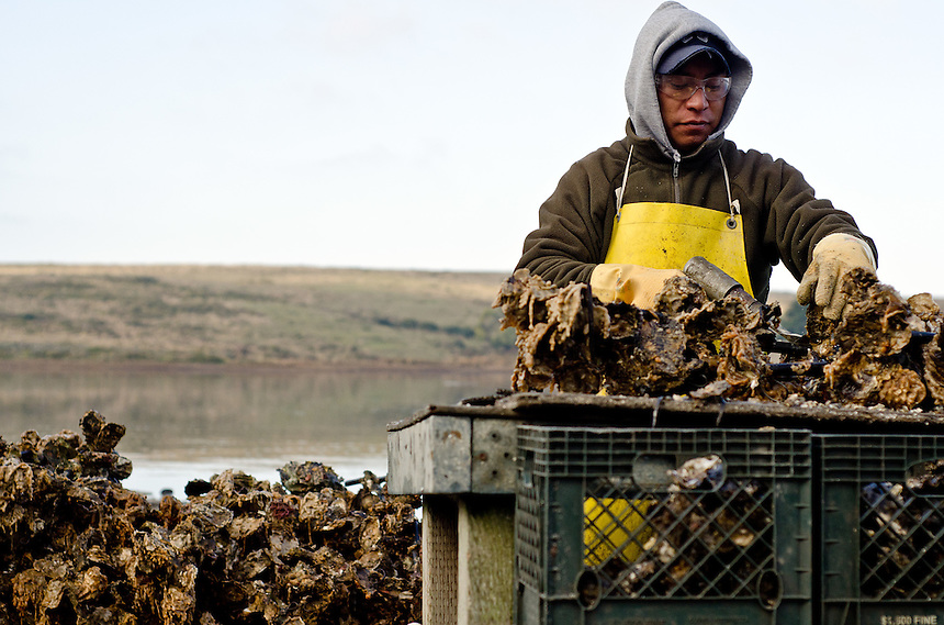 Lorenzo Hernandez uses a pneumatic chisel to separate clusters of oysters harvested from at the Drakes Bay Oyster Company in Inverness, California on December 13, 2011. The federal contract under which the Drakes Bay Oyster Company operates has recently expired. Now the Department of the Interior must decide whether or not to allow the sustainable oyster farm to continue commercial operations in a federally designated marine wilderness.