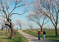 Deutschland, Rheinland-Pfalz, Neustadt an der Weinstrasse - Ortsteil Gimmeldingen: beliebtes Ausflugsziel zur Mandelbluete im Fruehling | Germany, Rhineland-Palatinate, Neustadt an der Weinstrasse - district Gimmeldingen: popular destination for almond blossom in spring