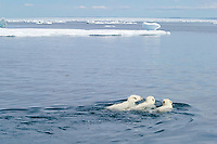 mother polar bear, Ursus maritimus, swimming with cubs in water in sub-arctic Wager Bay, near Hudson Bay, Churchill area, Manitoba, northern Canada, polar bear, Ursus maritimus