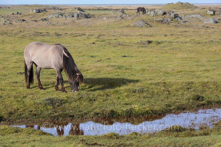Islandpferd, Isländer, Islandpony, Island-Pferd, Isländer, Island-Pony, Pony, Ponies, auf Island, Icelandic horse, Iceland, L'islandais, Islandais
