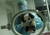The smallest panda to survive known as Wu Shi Er Ke (which means 51 grams in Chinese) at one month and 19 days old is put into an incubator in a secure room by nursing staff at Chengdu's panda research base. Wu Shi Er Ke now weights just over 200 grams. The panda was born at the Chengdu Giant Panda Breeding and Research Institute in Sichuan Province, China.   The Institute had a record of ten surviving births this year. Wu Shi Er Ke was born on 6th of August as a twin. Her sister weighted over double her weight and her mother called Qi Zheng was herself the first panda baby to survive an operation. (She had 7 stitches in her stomach after her mother rejected and attacked her just after birth 7 years ago)..25 Sep 2006
