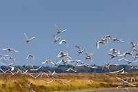 Flight of Spoonbills, Ars en Re,  Ile de Re, France