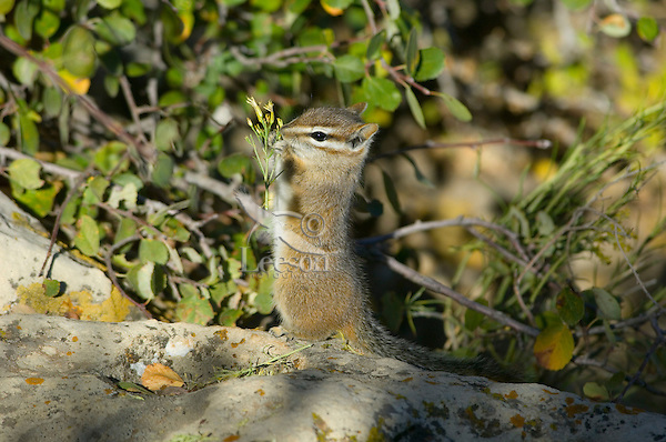 Cliff Chipmunk (Tamias dorsalis)  eating seeds.  Southwestern U.S., fall.