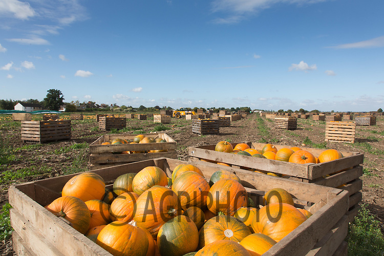 Harvesting pumpkins at David Bowman Pumpkins Ltd Europe's largest grower based in Lincolnshire<br /> Picture Tim Scrivener 07850 303986<br /> tim@agriphoto.com<br /> ….covering agriculture in the UK….