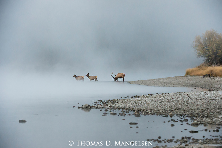 A bull elk pauses to drink at the edge of the Snake River before crossing in the mist with two cows from his harem in Grand Teton National Park, Wyoming.
