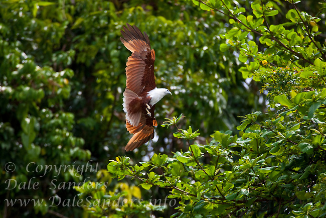 Brahminy Kite (Haliastur indus) on Restorf Island in Kimbe Bay off New Britain, Papua New Guinea.