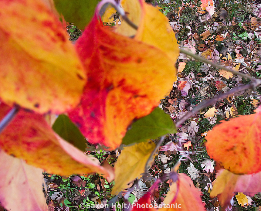 fall leaves of dogwood tree, Cornus florida for m'eyes recuperating.