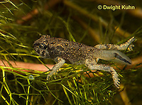 FR11-867z   American Toad Tadpole, Four leg stage and short tail, Anaxyrus americanus or Bufo americanus
